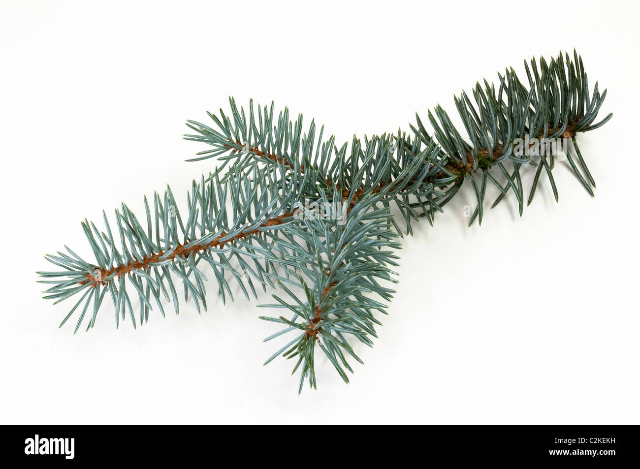 Blue Spruce (Picea pungens glauca), twig. Studio picture against a white background. - Stock Image