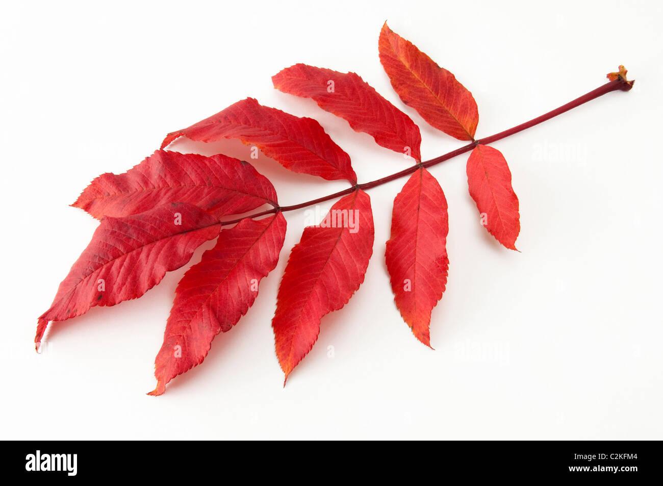 Mountain Ash, Rowan (Sorbus aucuparia), autumn leaf. Studio picture against a white background. - Stock Image