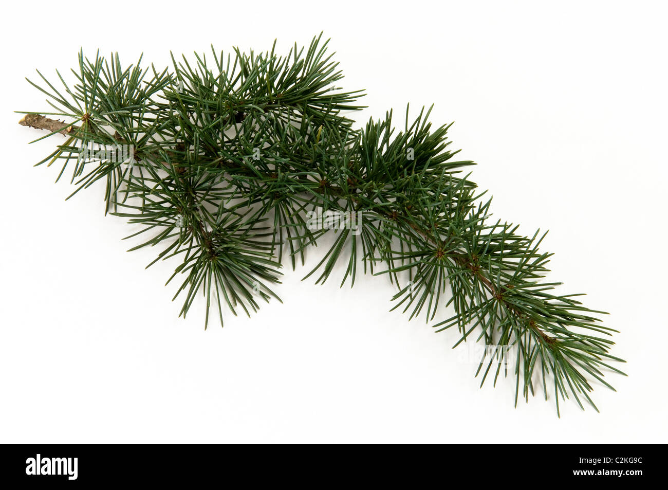Deodar Cedar, Himalayan Cedar (Cedrus deodara), twig. Studio picture against a white background. - Stock Image