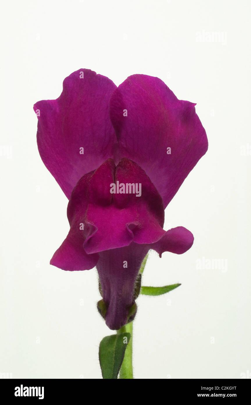 Snapdragon (Antirrhinum majus), red flower. Studio picture against a white background. Stock Photo