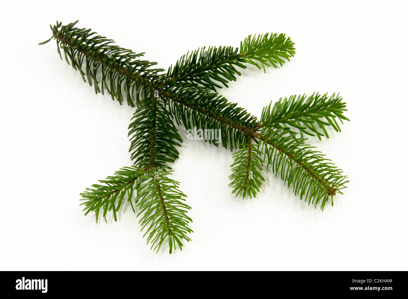 Caucasian Fir, Nordmann Fir (Abies nordmanniana), twig. Studio picture against a white background. - Stock Image