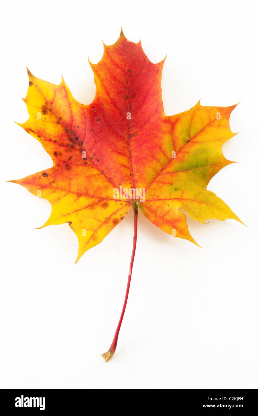 Norway Maple (Acer platanoides), autumn leaf. Studio picture against a white background. - Stock Image