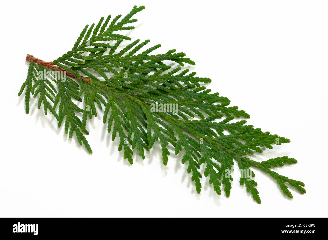 Eastern Arborvitae (Thuja occidentalis), twig. Studio picture against a white background. - Stock Image