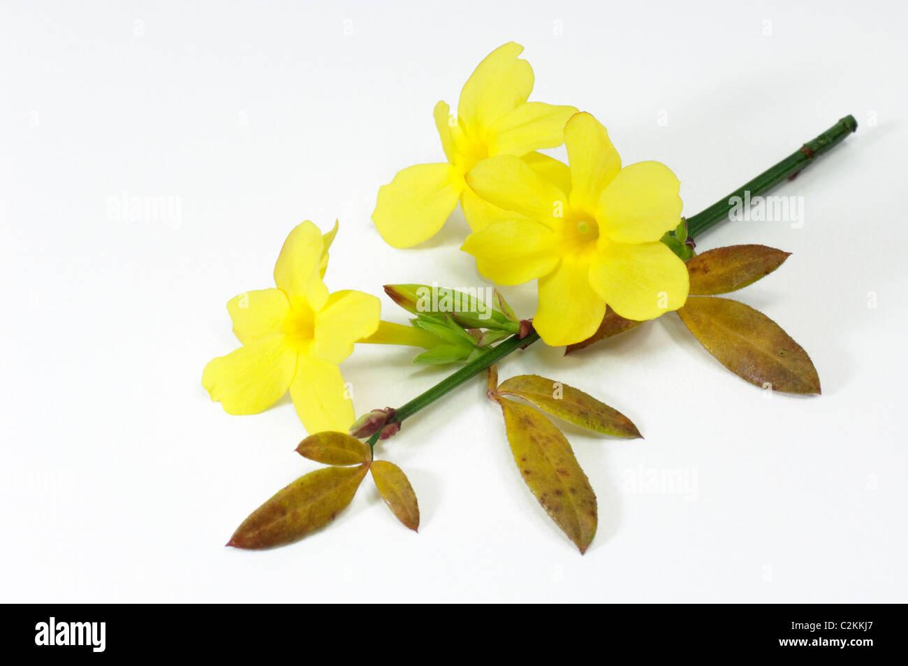 Winter Jasmine (Jasminum nudiflorum), flowering twig. Studio picture against a white background. - Stock Image