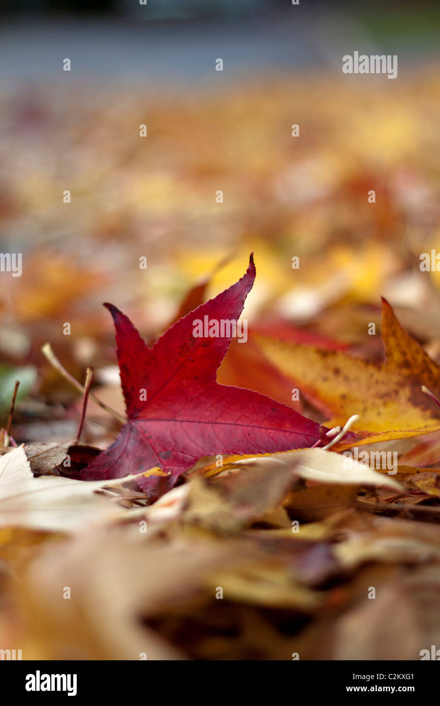 Autumn leaves on a public highway - Stock Image