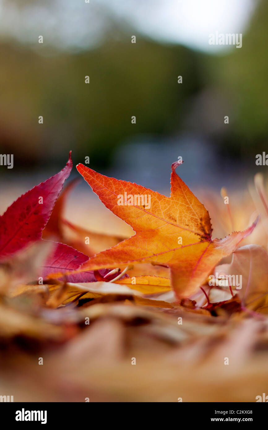 Autumn leaves lying on the ground - Stock Image