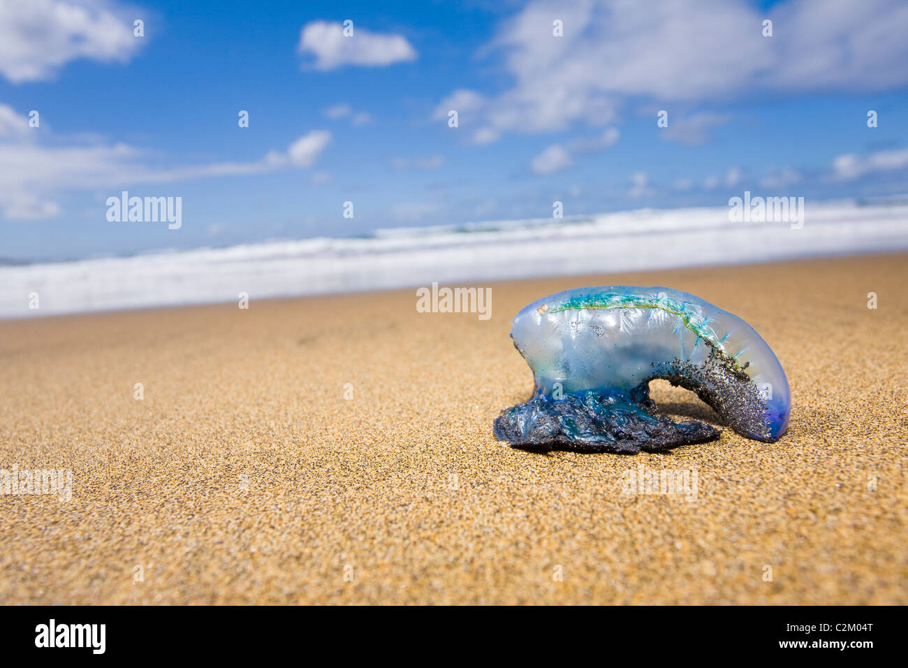 Stranded Portuguese Man o'War on the beach in Las Canteras Beach, Gran Canaria, Spain. - Stock Image