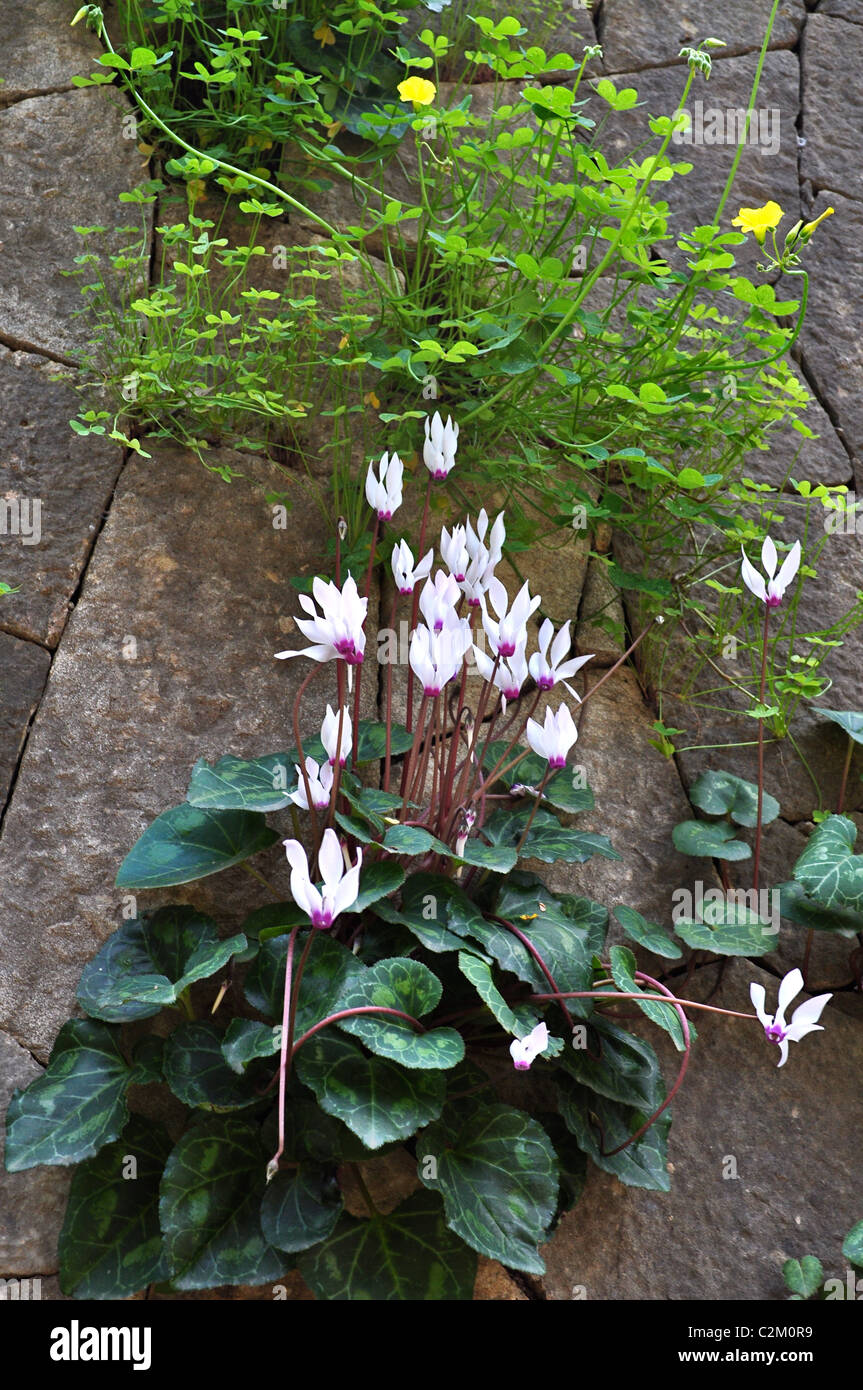 Wild cyclamen on the walls of the American University of Beirut in spring - Stock Image