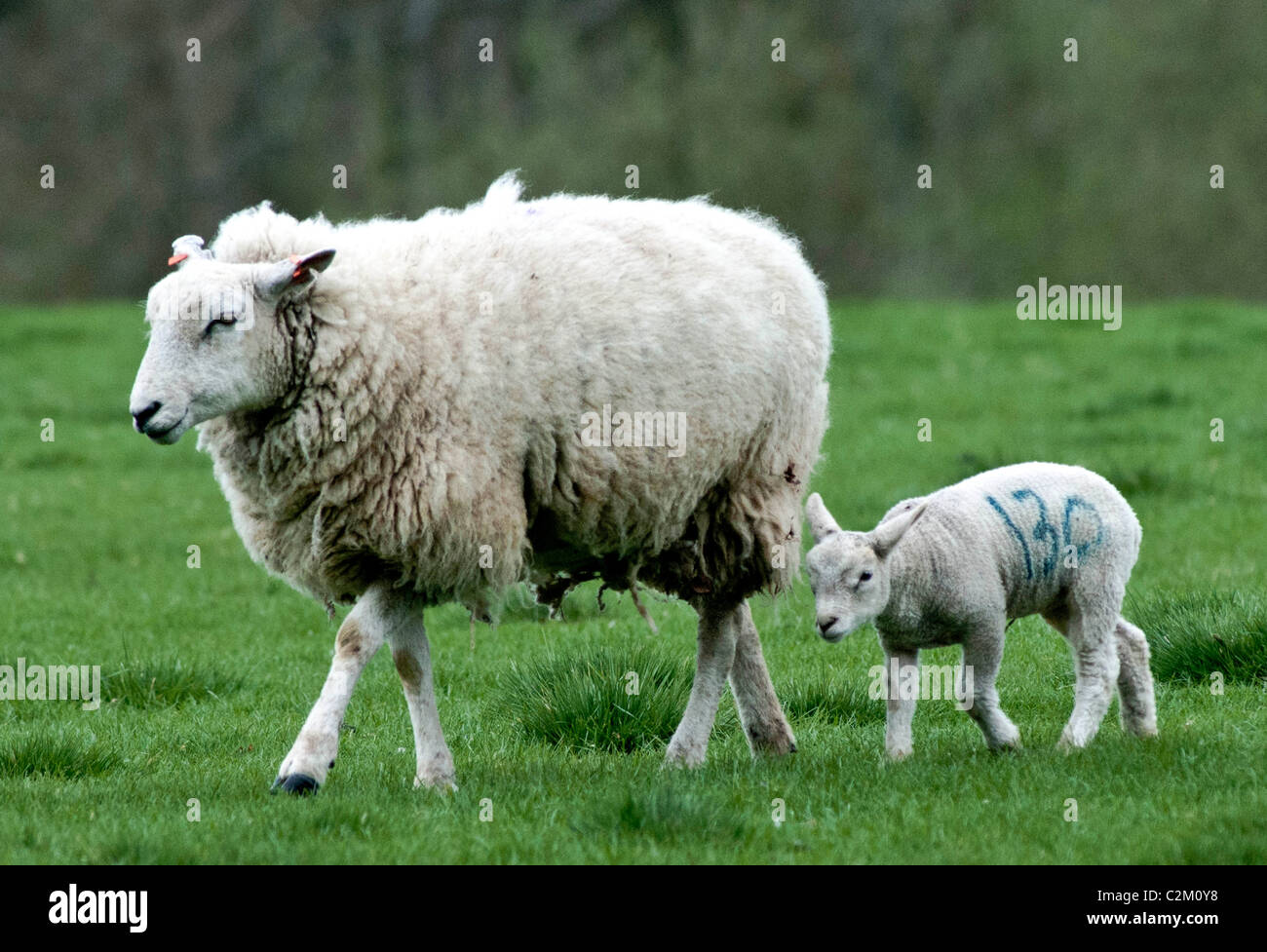 Mother sheep, ewe, with lamb in a field - Stock Image