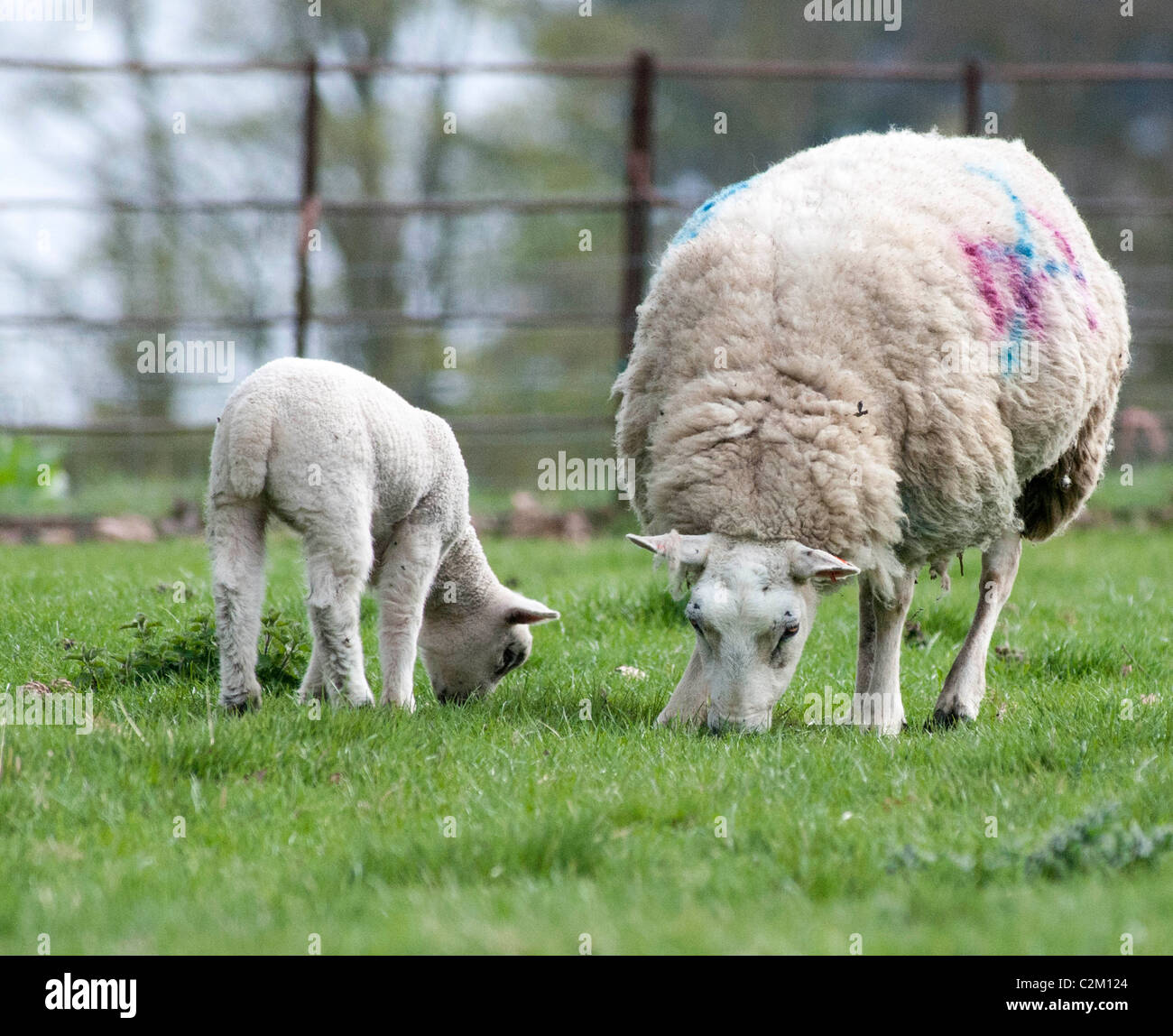 Mother sheep, ewe, with her young lamb in a field - Stock Image