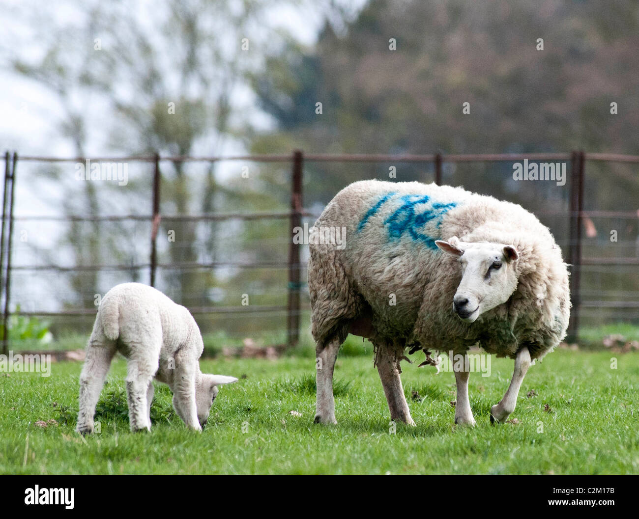 Mother sheep, ewe, bleating to her young lamb in a field - Stock Image