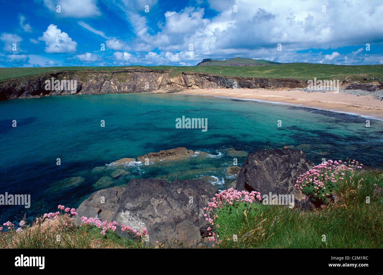 Thrift growing above Clogher Bay, Dingle Peninsula, County Kerry, Ireland. - Stock Image