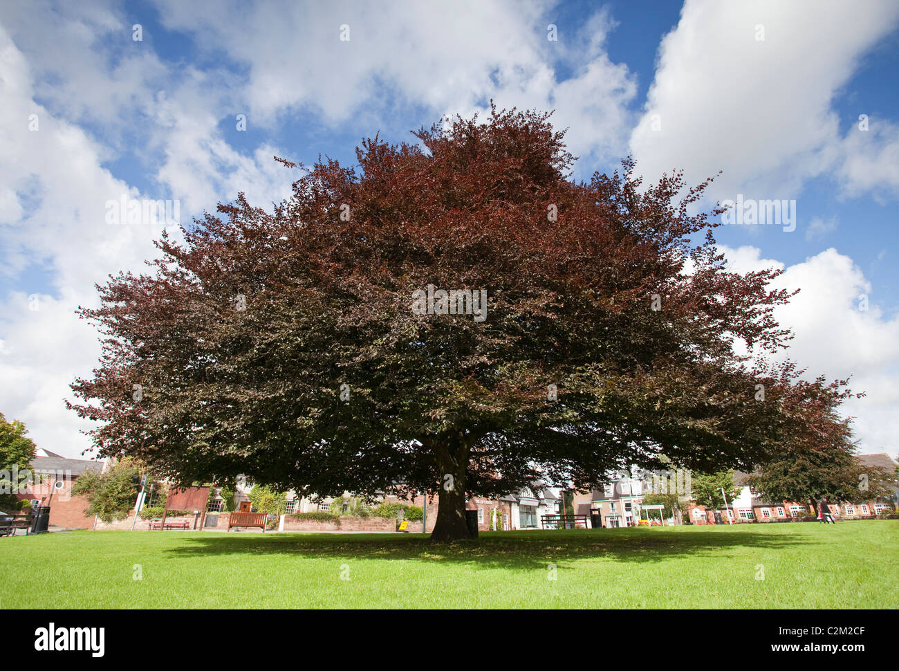 Single copper beech tree in full bloom on a village green in summer, Willaston, Wirral, England, UK - Stock Image
