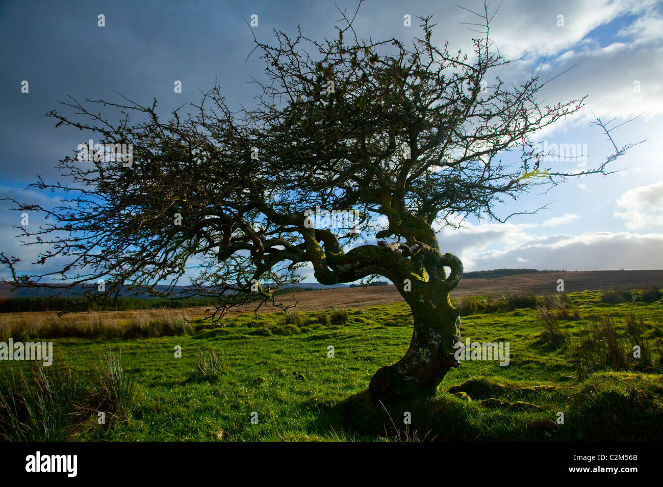 Old twisted hawthorn tree (Crataegus), Tullyskeherny, Manorhamilton, County Leitrim, Ireland. - Stock Image