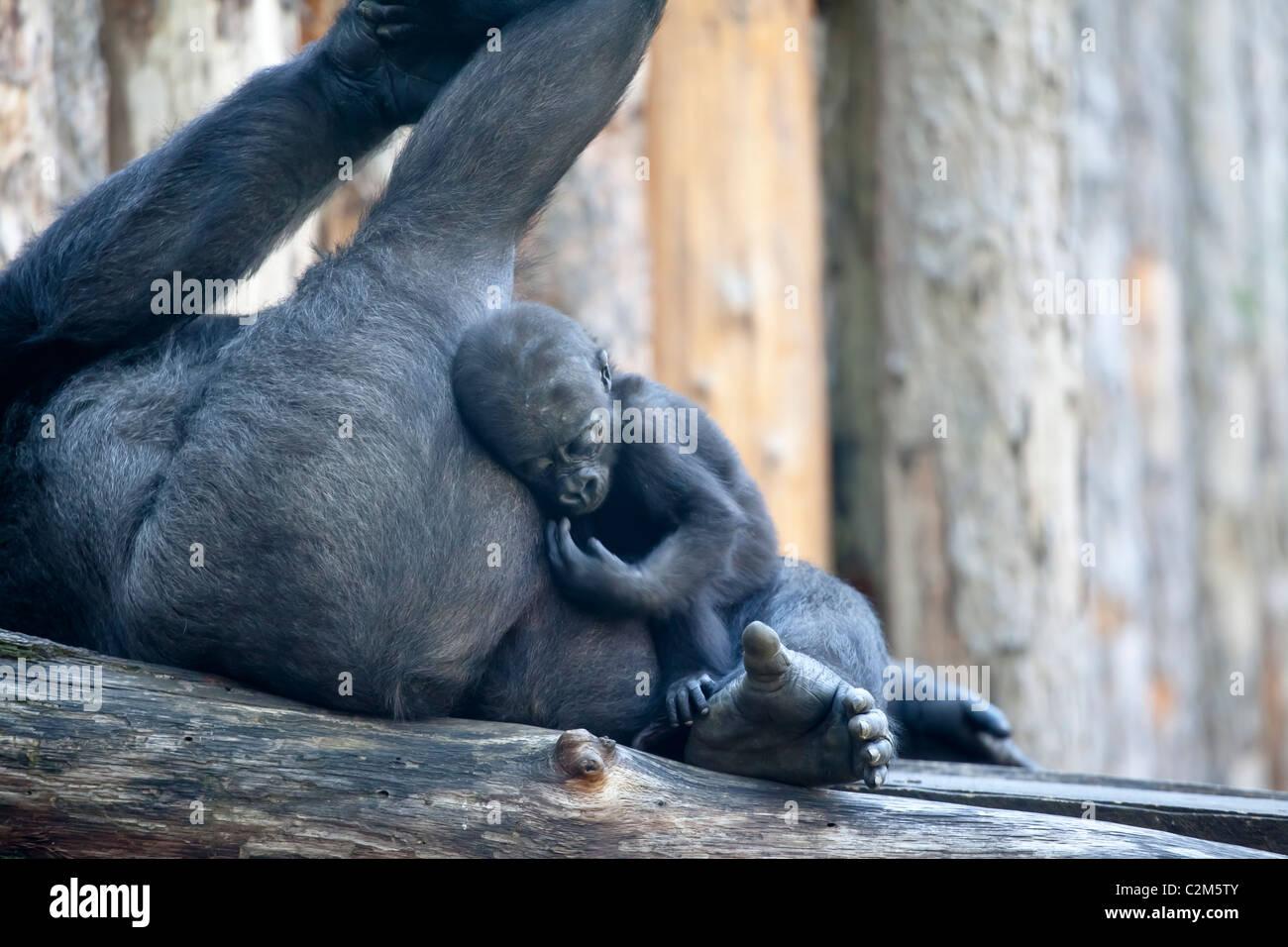 A gorilla with its newborn baby Cuddling it - Stock Image