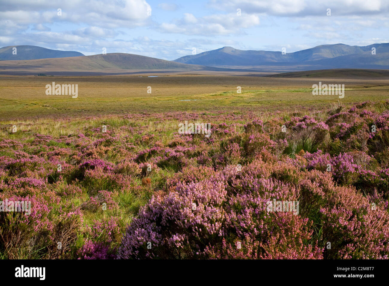 Heather blooming beneath the Nephin Beg Mountains, Ballycroy National Park, County Mayo, Ireland. - Stock Image
