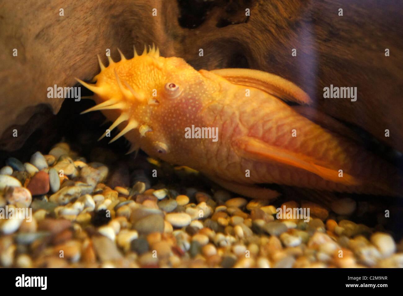 Ongebruikt Albino Bristlenose Catfish, Tropical Fish, part of the Ancistrus OA-58