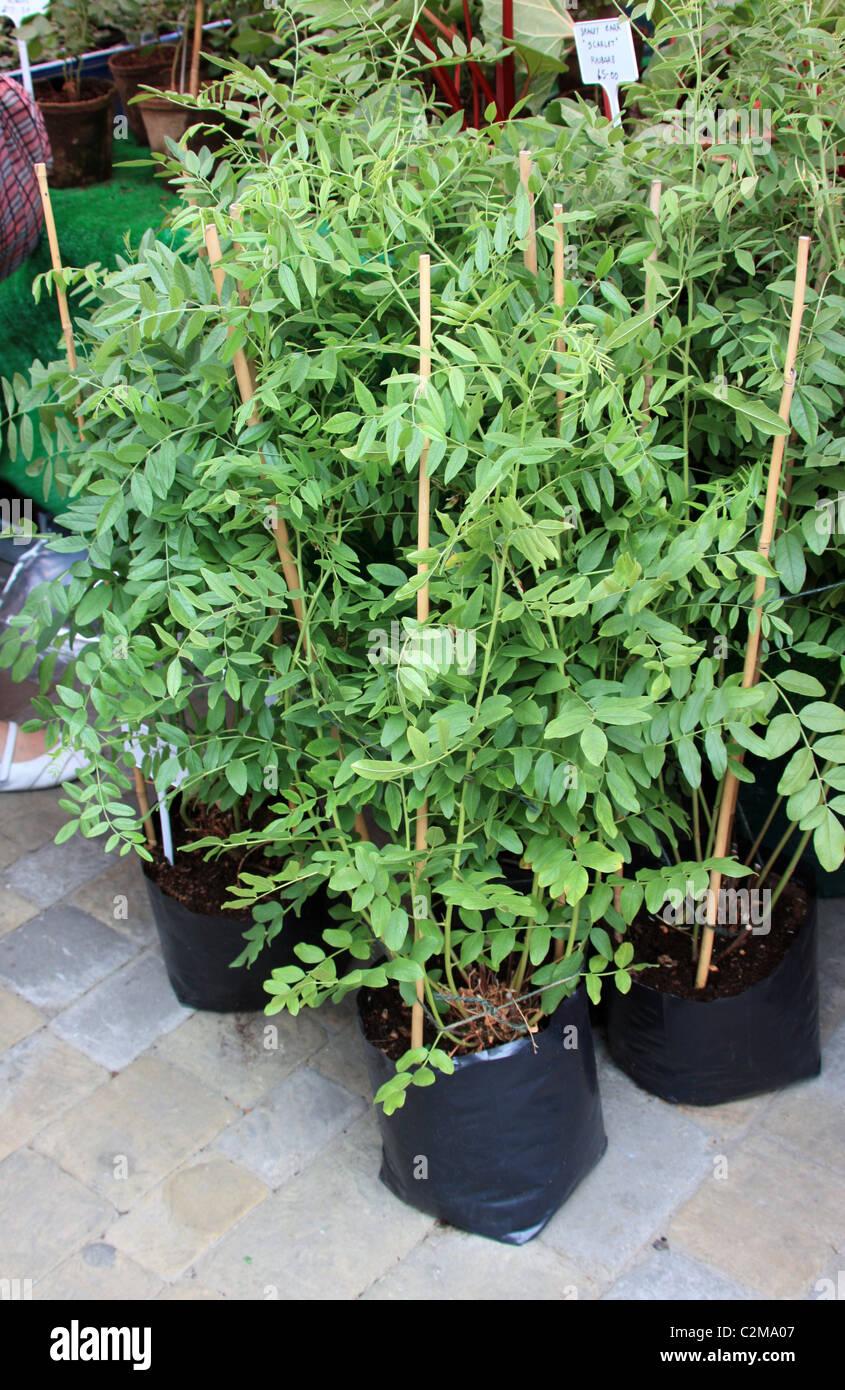Liquorice plants - Stock Image