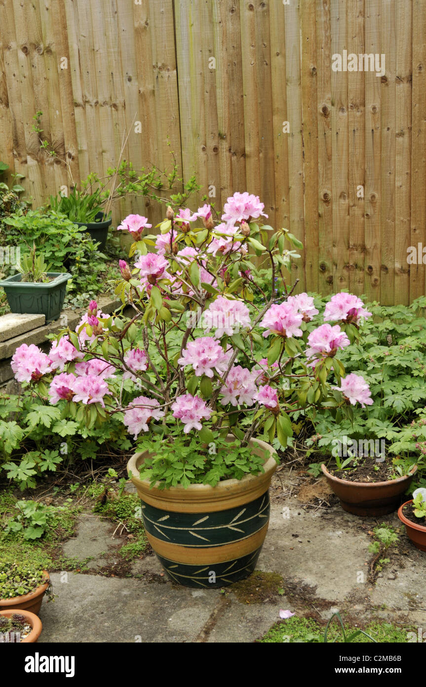 Rhododendron In Pot.Rhododendron In Pot Stock Photo 36097891 Alamy