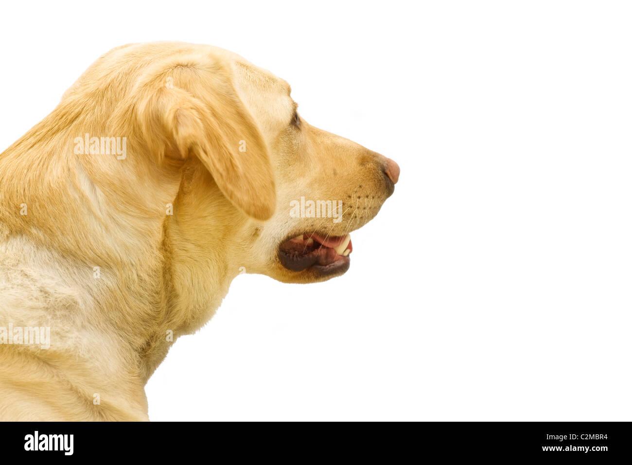 A Golden Labrador - Stock Image