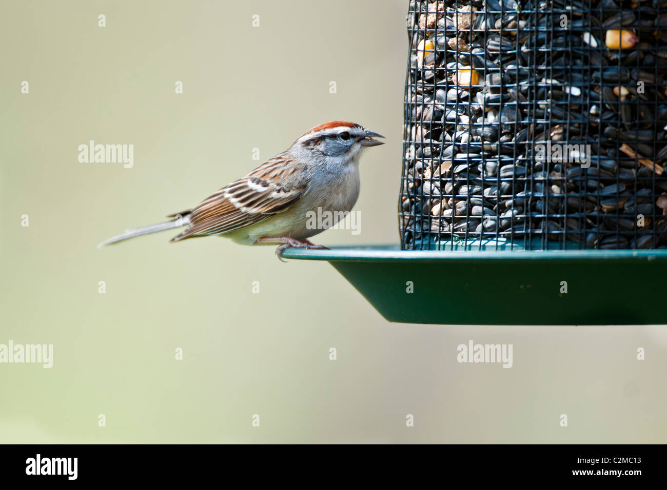 Chipping Sparrow using a seed feeder - Stock Image