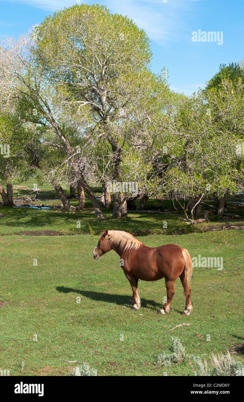 Nevada, Lamoille Valley, draft horse in pasture - Stock Image