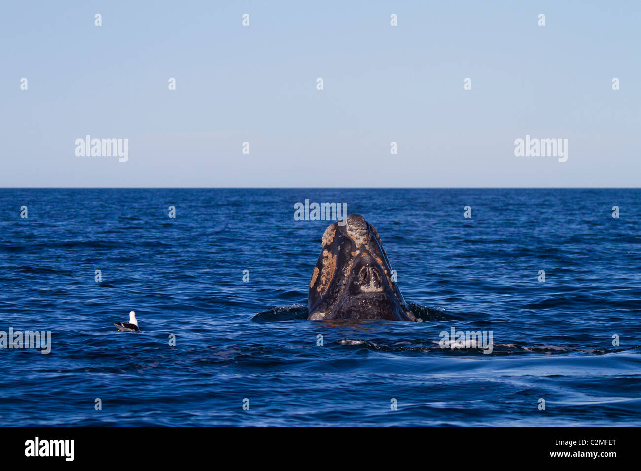 Southern Right Whale calf surfaces, Golfo Nuevo, Argentina Stock Photo
