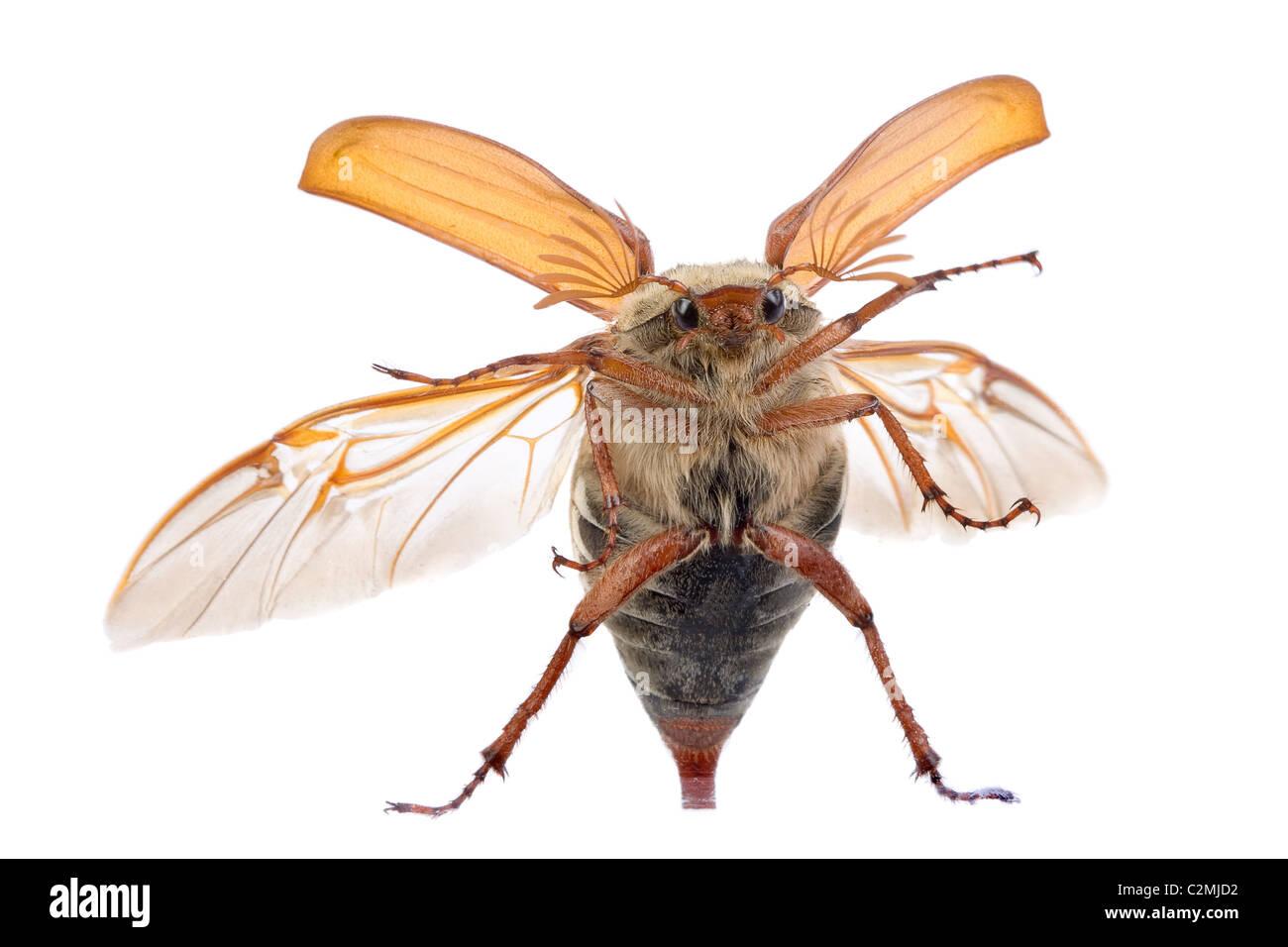 Maybug beetle flying up against a glass window Stock Photo