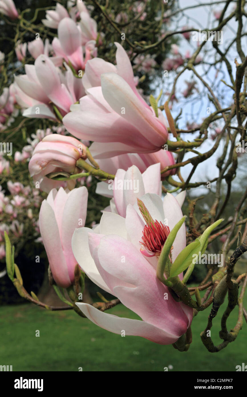 Pale Pink And White Magnolia Flowers On Spring Flowering Trees Stock