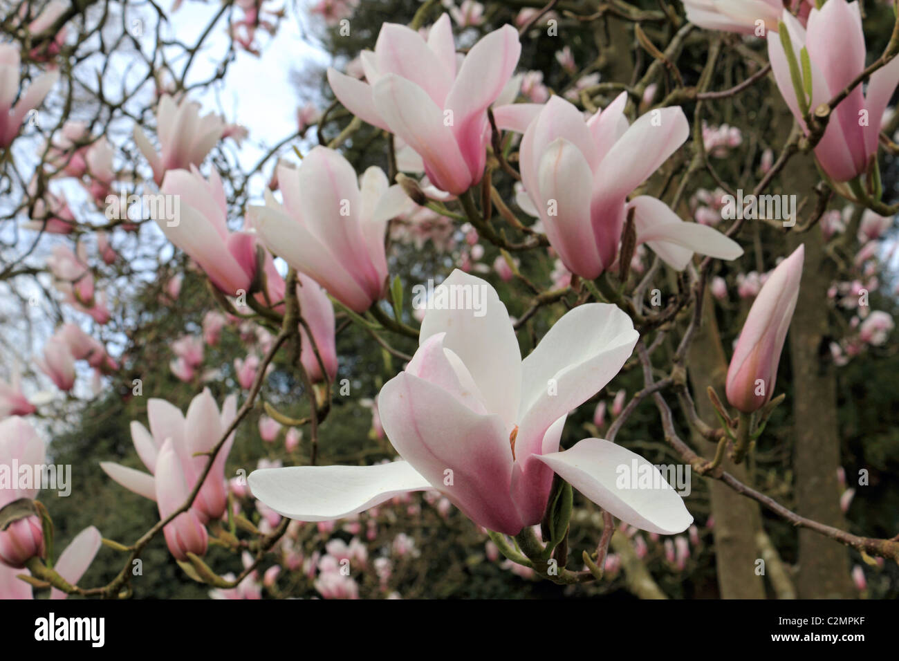 Pink White Magnolia Stock Photos Pink White Magnolia Stock Images