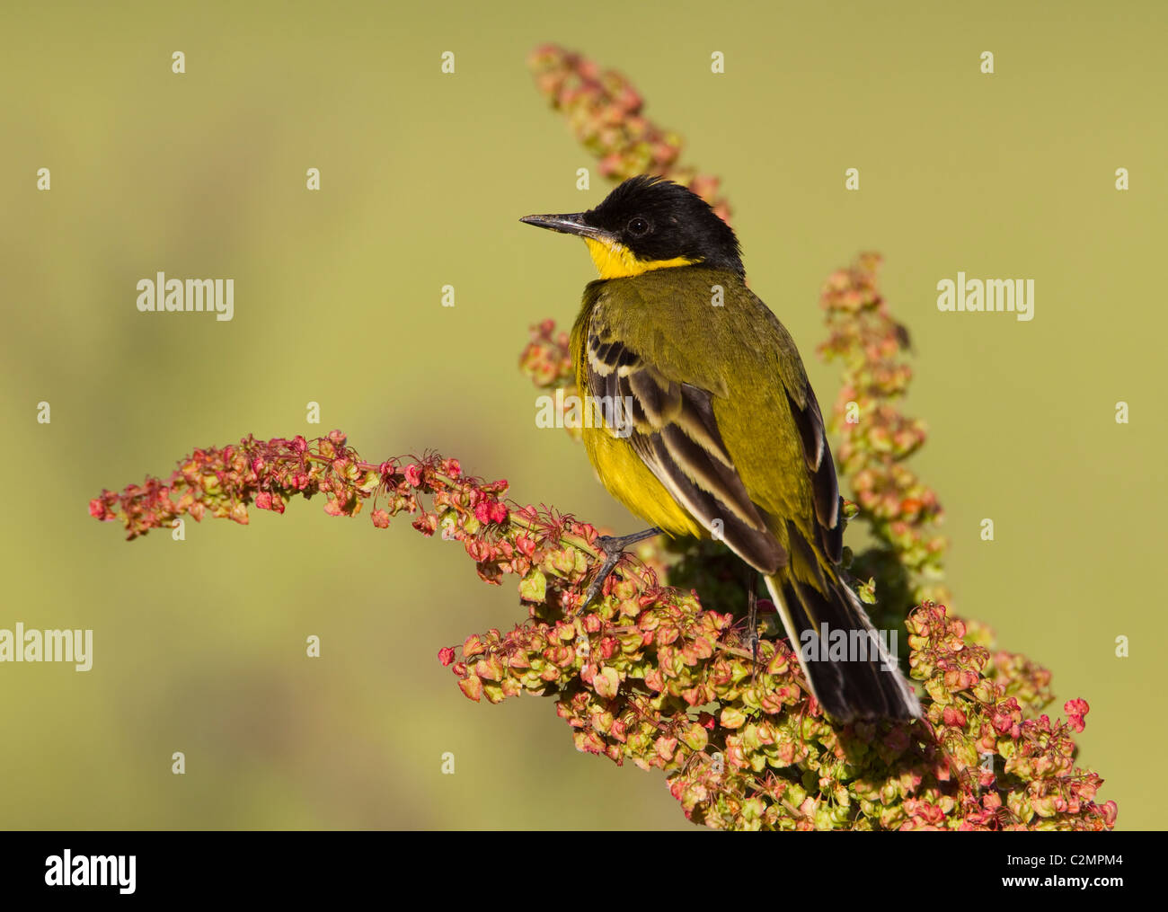 Black headed Wagtail Motacilla flava feldegg on Dock flower - Stock Image