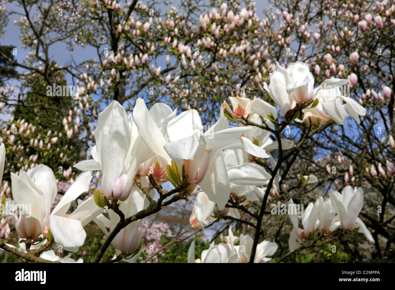 Large White Blooms Of The Spring Flowering Magnolia Tree Sussex