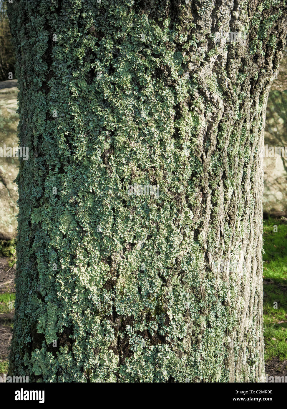 Lichen growing on tree bark close up - Stock Image