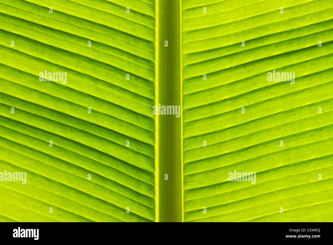banana leaf - Stock Image