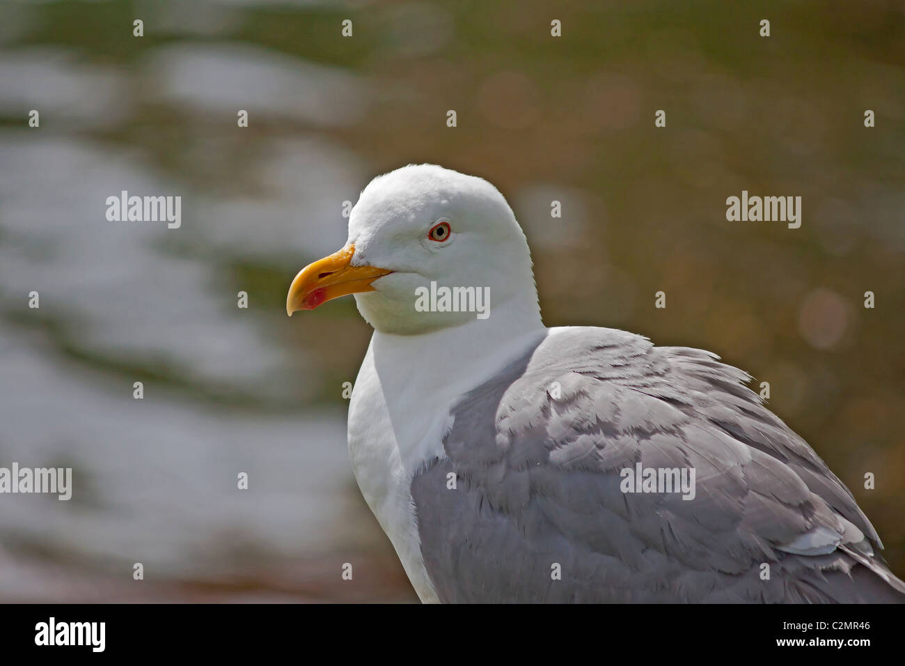 A seagull - Stock Image
