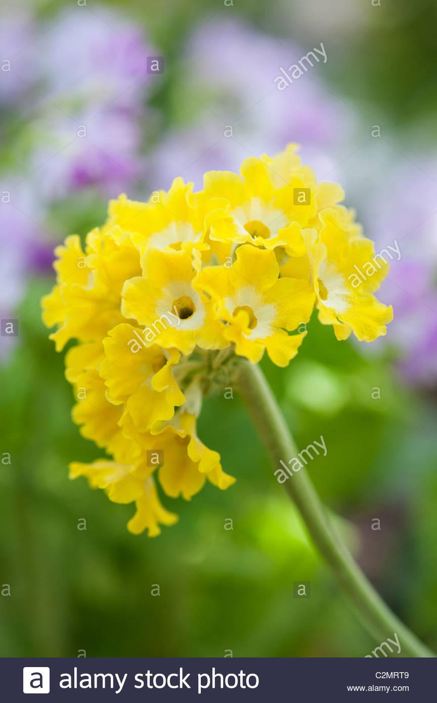 Yellow Primrose Flowers Stock Photos Yellow Primrose Flowers Stock