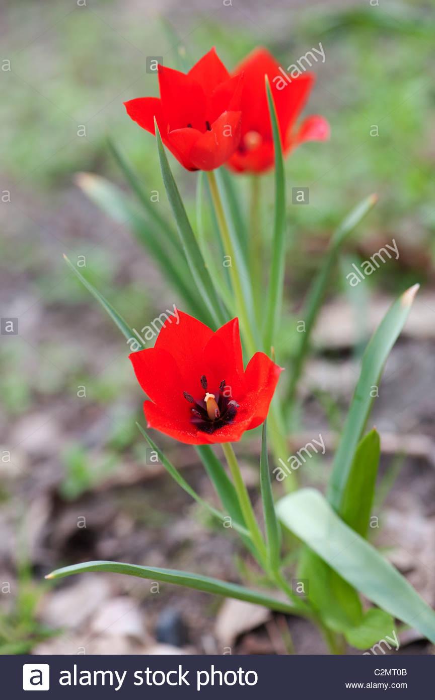 Tulipa biflora. Tulip. Fragrant star shaped red flower - Stock Image