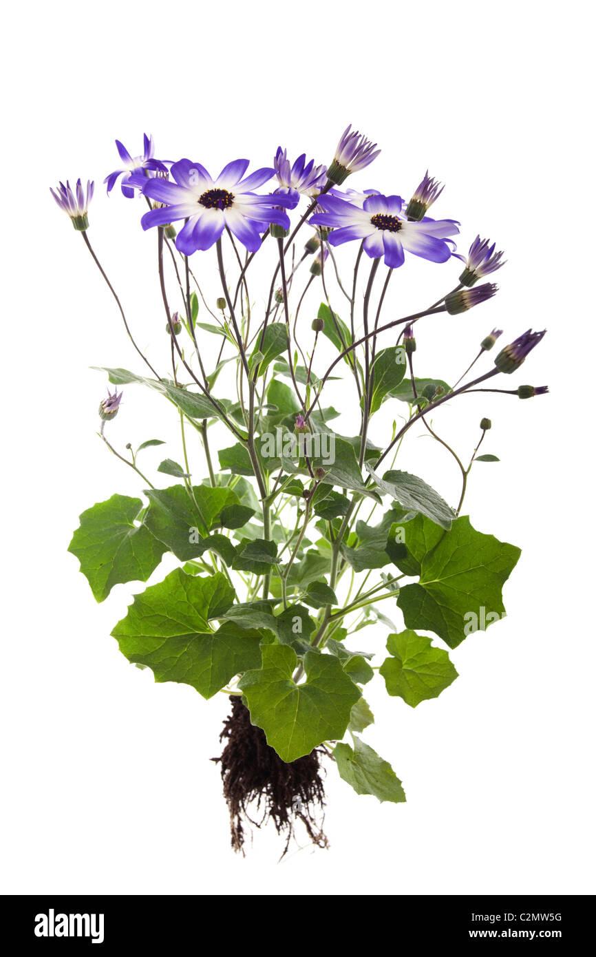 pericallis hybrida senetti plant isolated on white background - Stock Image