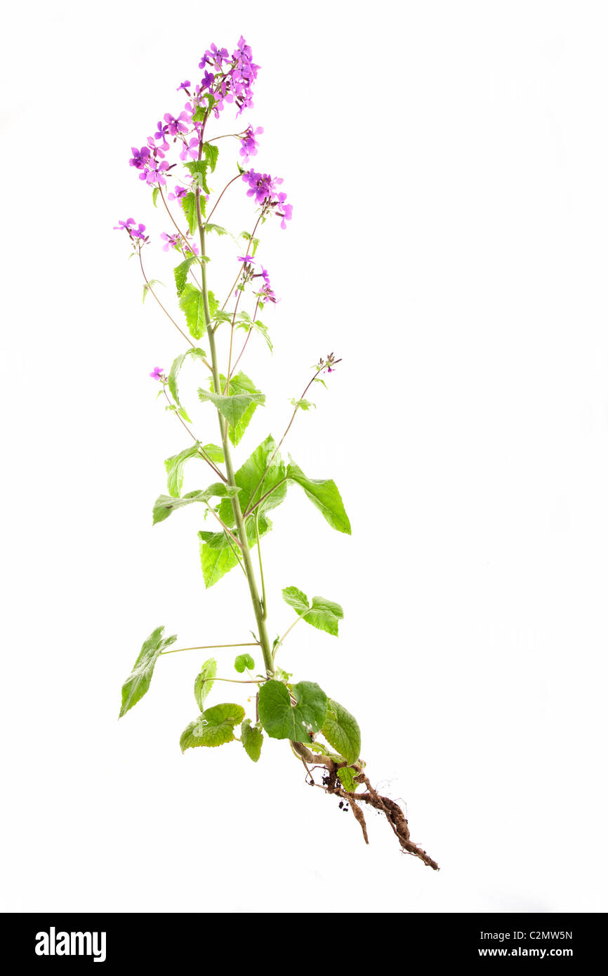 lunaria rediviva honesty plant isolated on white background - Stock Image