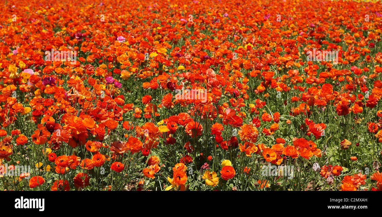 Semi-abstract red and orange flower fields - Giant Tecolote Ranunculus - Stock Image
