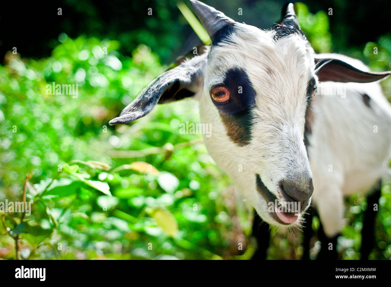 Baby kid goat tied up in the grass by the trail to graze.  He is staring right into the camera, with his tongue - Stock Image