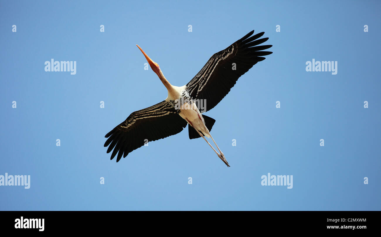 Painted stork Andhra Pradesh South India - Stock Image