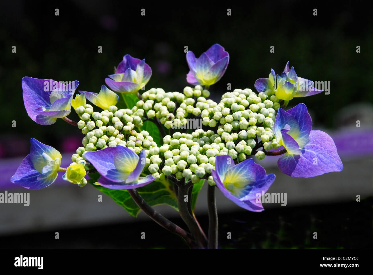 Common hydrangea on black background - Stock Image