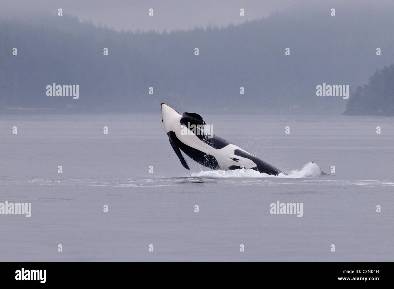 Orca or Killer Whale breaching, jumping, splashing, Vancouver Island, Canada - Stock Image