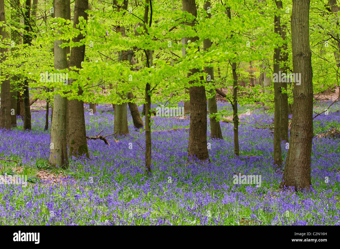 Bluebells in a beech forest in spring, Hertfordshire, England - Stock Image