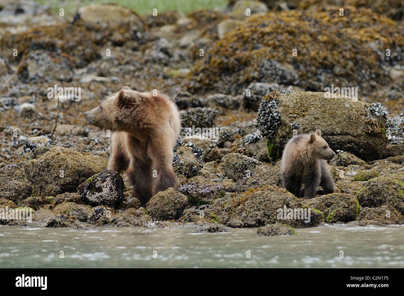 Grizzly bear with cub of year, Knight Inlet, British Columbia, Canada - Stock Image