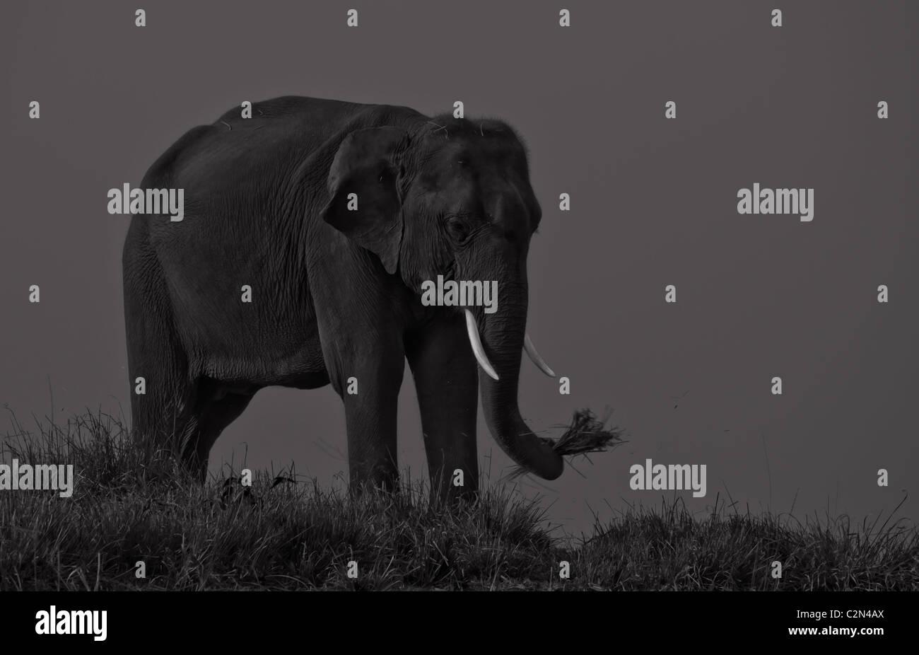 Indian elephant from Kaziranga National Park, Assam, India - Stock Image
