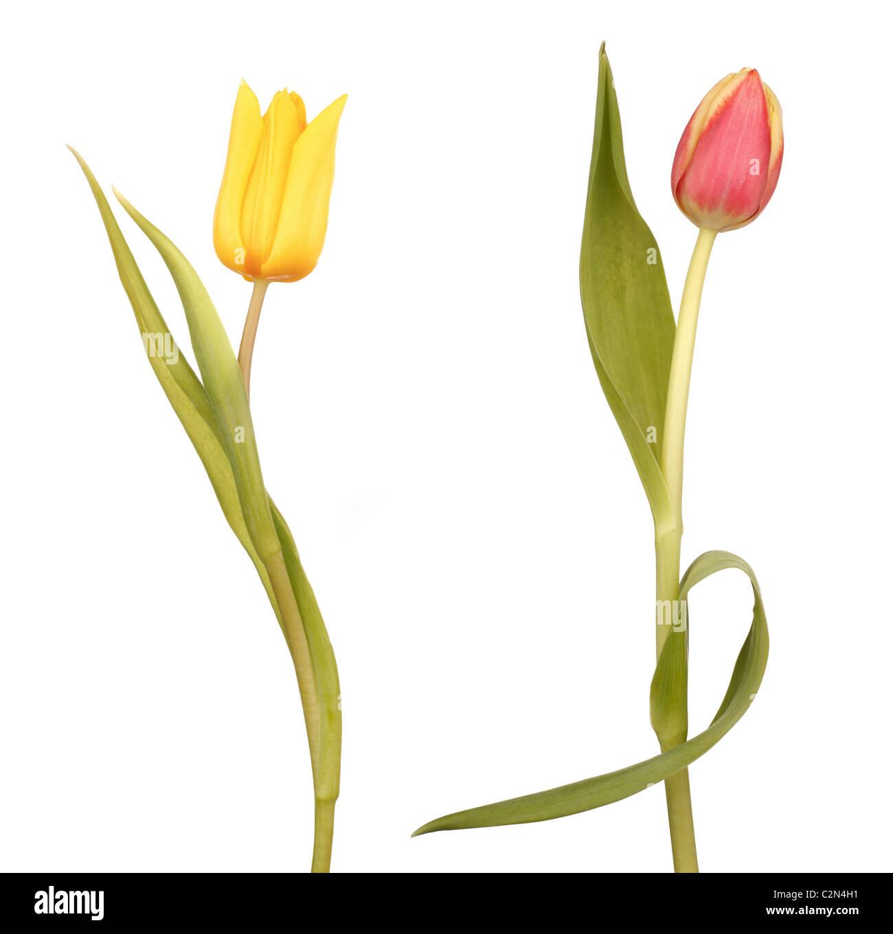 Two Dancing Tulips - Stock Image