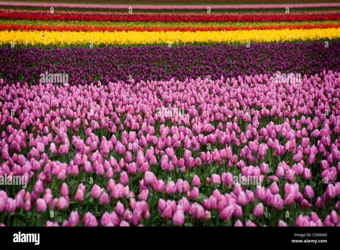 Colorful tulip fields can be seen in the springtime in the Skagit Valley of Washington state. - Stock Image