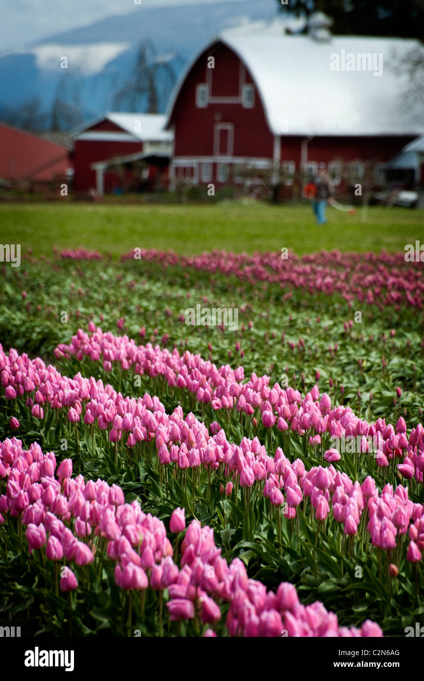 Fields of colorful tulips can be seen growing at the Skagit Valley Tulip Festival near Mt. Vernon, Washington State. Stock Photo